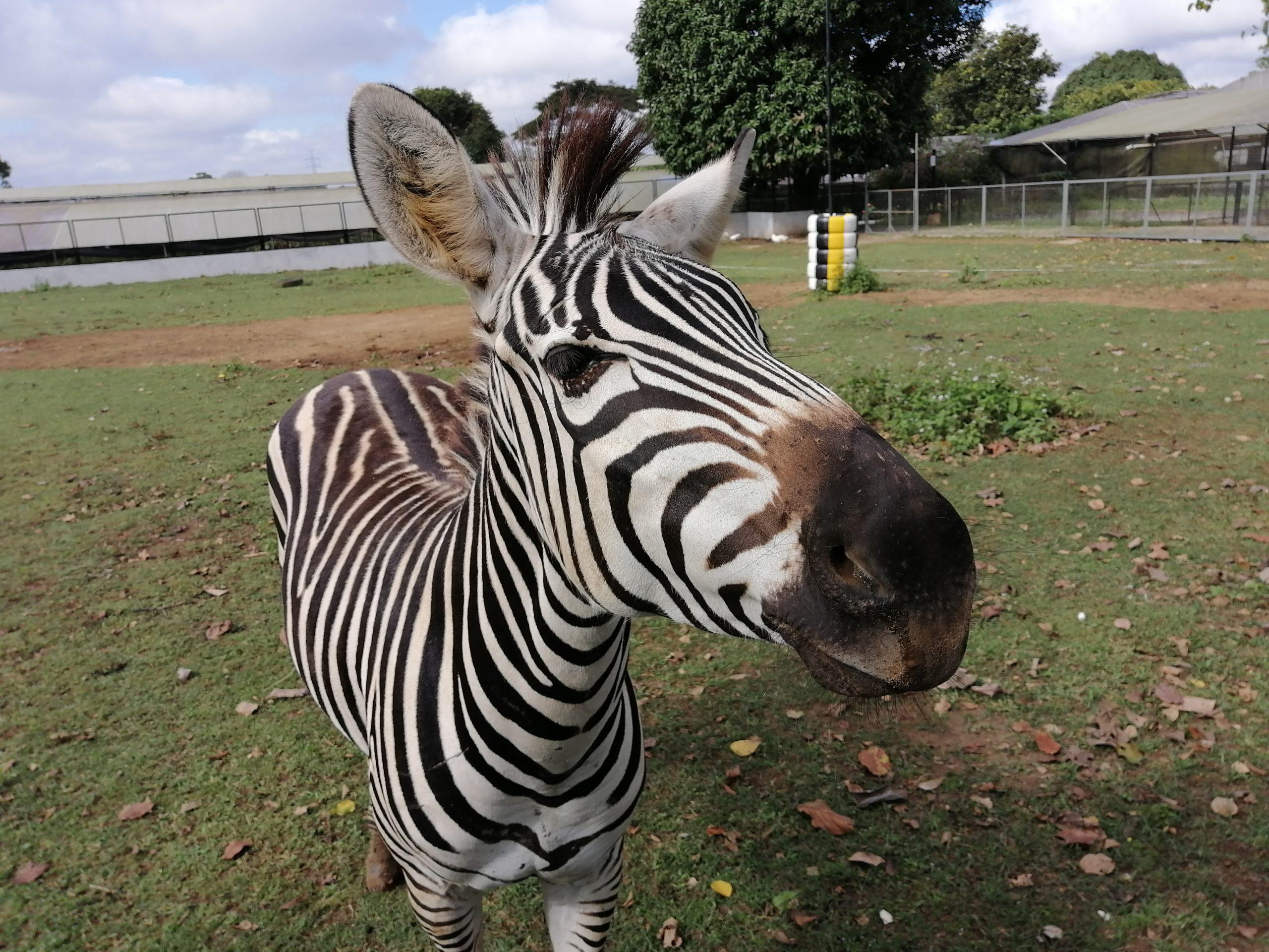 Zebra Focus