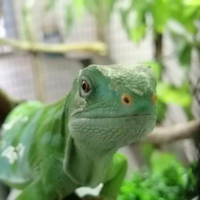 Smiling Lizard