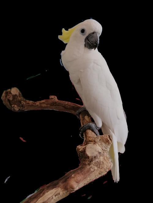 yokis parrot